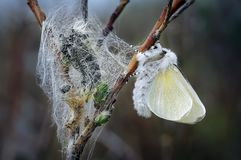 Male White Satin Moth Freshly Emerged form its Pupal case, left. A freshly emerged male White Satin Moth hangs upside down to dry his wings amongst fresh pupae stock image