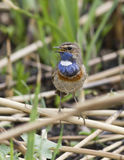 Male white starry Bluethroat singing on a branch cane. Royalty Free Stock Image