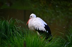 Male, White Stork in zoo royalty free stock images