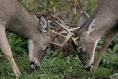 Male white tail deer Stock Photos