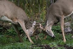 Male white tail deer. 2 bucks fighting for dominance royalty free stock images