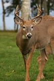 Male white tail deer Stock Photography