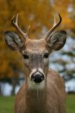 Male white tail deer. A 3 point buck with fall leaves in the background royalty free stock photo