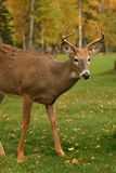 Male white tail deer. A 4 point buck with fall leaves in the background royalty free stock photography