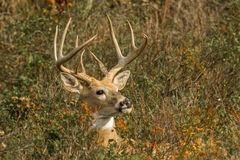 Male White Tailed Deer. Large Male White Tailed Deer Hidden In Brush Stock Photos