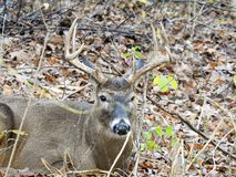 Male white tailed deer  Stock Photo