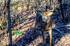 Male White-tailed Deer on Trail. White-tail buck deer odocoileus virginianus coming down a deer trail in Wisconsin Stock Photography
