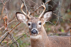White-tailed Deer. A Male White-tailed Deer in the woods Stock Image