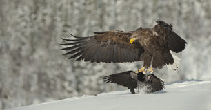 Male White-tailed Eagle landing Stock Photography