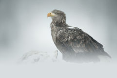 White-tailed Eagle. A male White-tailed Eagle standing guard over a road-kill Red Fox in deep snow high in the Faltanger mountains of central Norway Royalty Free Stock Images
