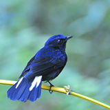 Male White-tailed Robin Stock Image