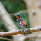 Male White-throated Rock-Thrush Stock Image