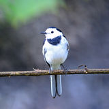 Male White Wagtail. Beautiful white and black bird, male White Wagtail (Motacilla alba), standing on a branch, breast profile Royalty Free Stock Photo
