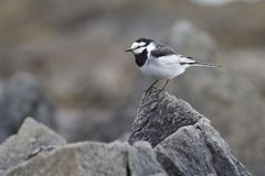 Male WHITE WAGTAIL sitting on a small rock on the seashore in th. E spring Stock Photo