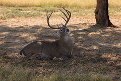 Male Whitetail Deer. A stock photo of a male whitetail deer resting on the ground Royalty Free Stock Photography