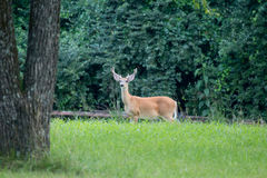 Male whitetail deer late summer velvet. Antlers buck Royalty Free Stock Photos