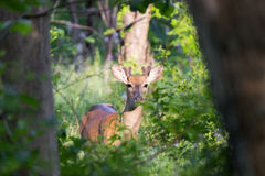 Male Whitetail Deer (Odocoileus virginianus). Seen at Matthei Botanical Gardens in Ann Arbor, Michigan, USA Royalty Free Stock Photography
