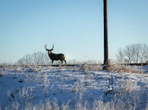 Male Whitetail Deer Stock Photos