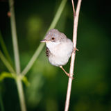 Male of a Whitethroat, Sylvia communis. Whitethroat (Sylvia communis) in the wild nature Stock Photo