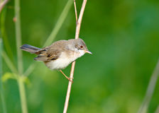 Male of a Whitethroat, Sylvia communis. Whitethroat (Sylvia communis) in the wild nature Stock Images
