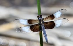 Male Widow Skimmer Dragon Fly Royalty Free Stock Images