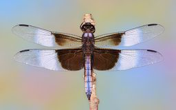 Male Widow Skimmer dragonfly (Libellula luctuosa). Close- up view of a male Widow Skimmer dragonfly Royalty Free Stock Image