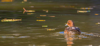 Male Wigeon. A male Eurasian Wigeon (Anas penelope) swims calmly in the still waters of a city pool, the afternoon sun manifesting appealing reflects on the Stock Photos