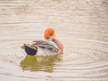 Male wigeon in the lake Stock Photos