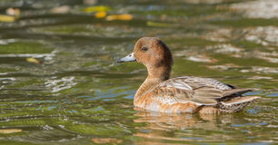 Male Wigeon with reflections Royalty Free Stock Image