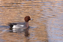 Male Wigeon in water. Male Wigeon or Eurasian Wigeon (Anas penelope, previously Mareca penelope) in water Stock Photography