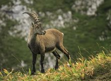 Male wild alpine, capra ibex, or steinbock. Male wild alpine ibex, capra ibex, or steinbock standing in Alps mountain, France Royalty Free Stock Images