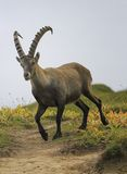 Male wild alpine, capra ibex, or steinbock Stock Photos