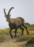 Male wild alpine, capra ibex, or steinbock. Male wild alpine ibex, capra ibex, or steinbock walking in Alps mountain, France Stock Photos