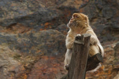 Male Wild Barbary Macaque monkey sits on a log close-up Royalty Free Stock Photo