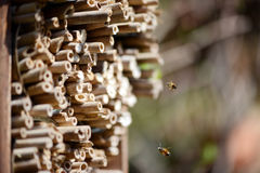Male wild bees flying in front of insect shelter. Stock Images