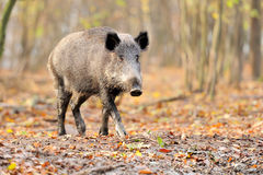 Male wild boar in autumn. In the forest Royalty Free Stock Images