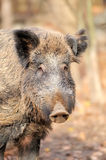 Male wild boar in autumn. In the forest Royalty Free Stock Photo