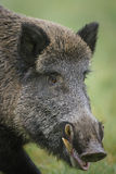 Male wild boar close up. Male wild boar shows his impressive tusks Royalty Free Stock Photos