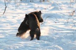Male wild boar fighting. Two wild-boar male,Sus scrofa, fighting in mating season Royalty Free Stock Photo