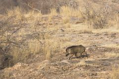The wild boar runs on the wood. The male of a wild boar runs on the open site, feeling like the owner of the wood Royalty Free Stock Photography