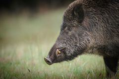 Male wild boar. Shows his impressive tusks Stock Images