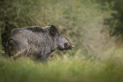 Male wild boar Stock Images