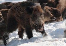 Male wild boar. Wild-boar male (Sus scrofa) in winter forest Royalty Free Stock Image