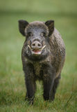Male wild boar, up close. Male wild boar shows his impressive tusks Royalty Free Stock Photos
