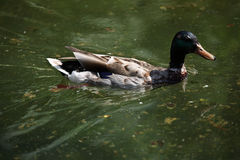 Male wild duck (Anas platyrhynchos) Stock Photography