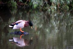 Male wild duck or Anas platyrhynchos. Male wild duck or mallard or Anas platyrhynchos on river Stock Images