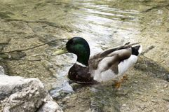 Male wild duck in clear river. Anas platyrhynchos, mallard, Male wild duck in clear river, single bird Stock Photo