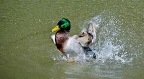 Male wild duck. Close up of a male wild duck Stock Image