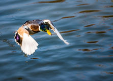 Male wild duck flying over the water Stock Photography