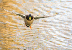 Male wild duck flying over the water Stock Photo